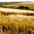 Wheat fields — Stock Photo #1179550