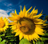 Gold sunflowers — Stock Photo