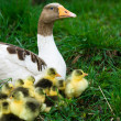 Goslings on grass — Stock Photo #1183651