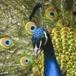 Paradise bird peacock — Stock Photo #1184597
