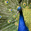 Stockfoto: Paradise bird peacock