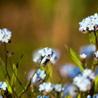 Beautiful forget-me-nots - Stock Photo