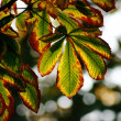 Autumn chestnut leaves — Stock Photo #1189639