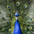 Paradise bird peacock - Stock Photo