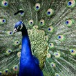 Paradise bird peacock — Stock Photo #1189680