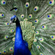 Royalty-Free Stock Photo: Paradise bird peacock