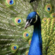Paradise bird peacock — Stock Photo #1189704