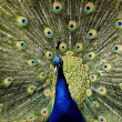 Paradise bird peacock — Stock Photo