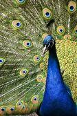 Paradiset fågel peacock — Stockfoto