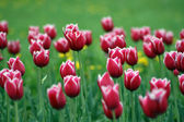 A lawn of red tulips — Stock Photo
