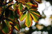 Autumn chestnut leaves — Stock Photo