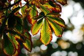 Autumn chestnut leaves — Stock Photo