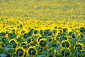 A field of gold sunflowers — Stock Photo