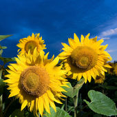 Gold sunflowers on a background of the b — Stock Photo