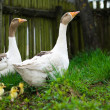 Goslings on grass — Stock Photo #1266161