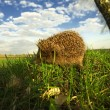 Hedgehog in grass — Stock Photo