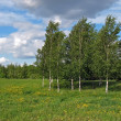 Stock Photo: Birches on wind