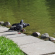 Two pigeons near water — Stock Photo #1198666