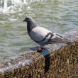 Stock Photo: Pigeon in fountain