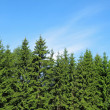 Tops of fur-trees — Stockfoto