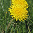 Two dandelions — Stock Photo