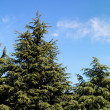 Treetops of fir-trees on cloudy sky back - Stock Photo