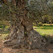 Gnarled and twisted trunk of olive tree — Stock Photo #1172008