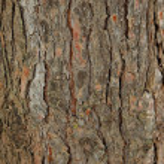 Pine tree bark texture — Stock Photo #1174039