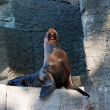 Sea lion on artificial rock in zoo — Stock Photo