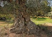 Gnarled and twisted trunk of olive tree — Stock Photo