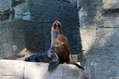 Sea lion on artificial rock in zoo — Stok fotoğraf