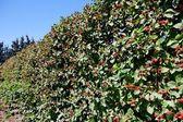 Blackberry crop on bushes in summ — Stock Photo