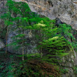 Stock Photo: Pine trees cling to rock in canyon