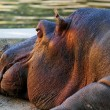 Close-up of head of lying hippopotamus - Stock Photo