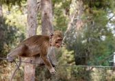 Little rope-walking monkey — Stockfoto