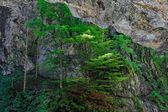 Pine trees cling to rock in canyon — Stock Photo