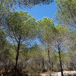 Stock Photo: Pinetree woods
