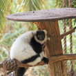 Black and white ruffed lemur in zoo - Stock Photo