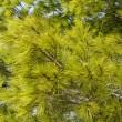 绿色松针背景 — 图库照片