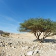 Royalty-Free Stock Photo: Acacia tree in the desert