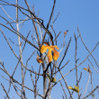 Last orange leaf on the fig tree — Stock Photo