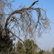 Stock Photo: Bent dry tree