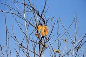 Last orange leaf on the fig tree — Stock Photo