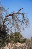 Bent dry tree — Stock Photo