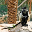 Black-and-white colobus monkey — Stock Photo