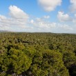 Pinetree forest stretches to horizon — Stock Photo