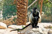Black-and-white colobus monkey — Stock Photo