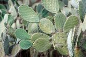 Tzabar cactus, or prickly pear — Stock Photo