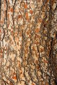 Pinetree bark texture — Stock Photo