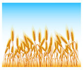 Field of wheat — Stock Vector